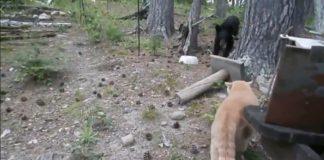 Кот загнал медведя на дерево. Видео