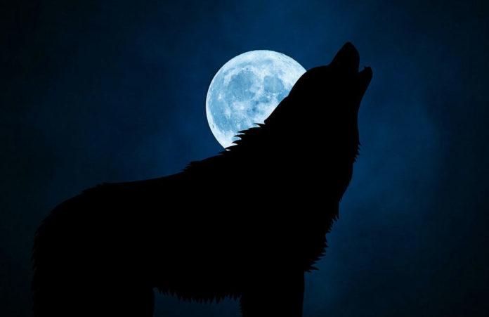 Волк, полнолуние