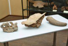 Останки древнего бизона нашли на Моховском разрезе в Беловском районе
