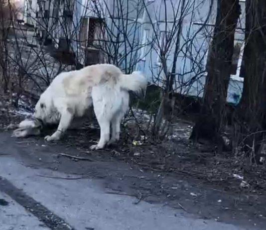 В Белове бродячий пёс загрыз собачку на глазах у ребенка