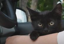 В Кузбассе котенок застрял в моторном отсеке автомобиля спасаясь от собак