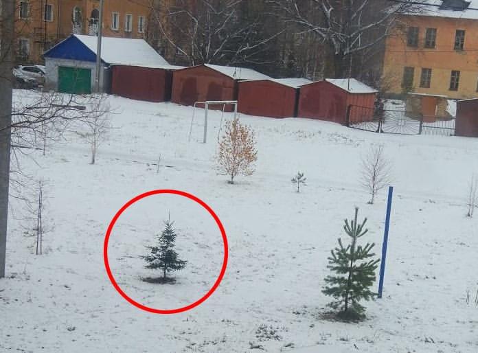В Белове крадут ёлки из городских насаждений