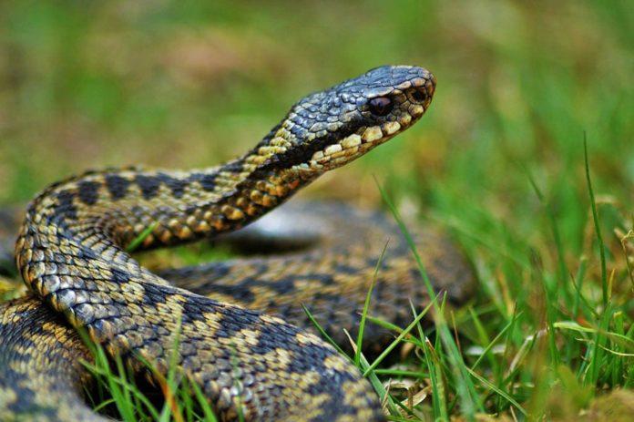 Змея, гадюка