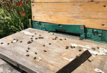 В Кузбассе массово гибнут пчёлы
