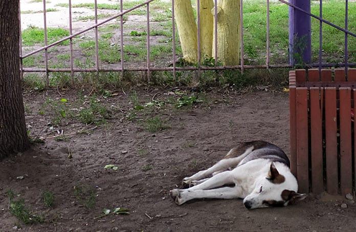Бродячие собаки, Белово