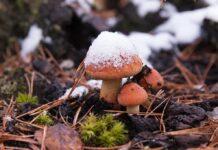Первый снег, грибы