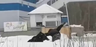 Медведь гонял прохожих на улице в Нижневартовске