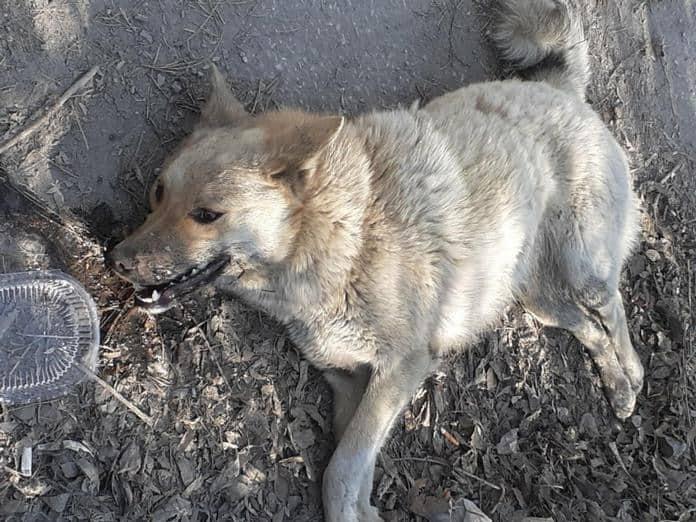 В Белове отравили бродячих собак